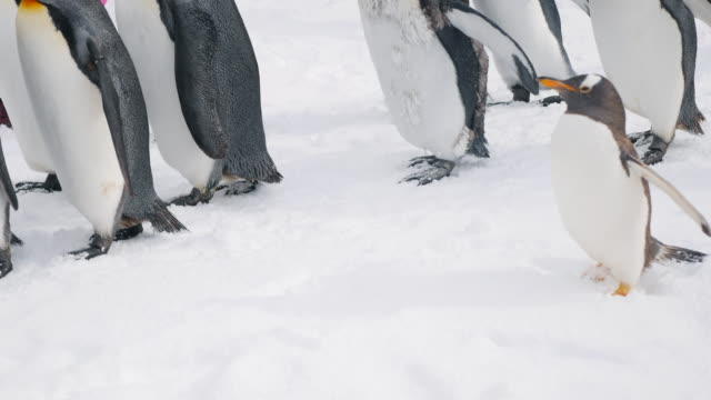 Baby Penguin and family nature,snow,penguin group of animals stock videos & royalty-free footage