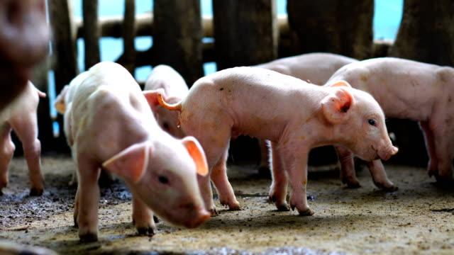 Baby Pigs, Farm Animals video
