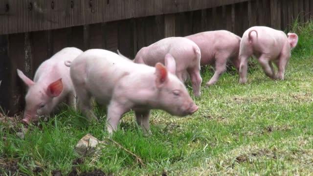 Baby Pigs, Piglets, Hogs, Farm Animals video