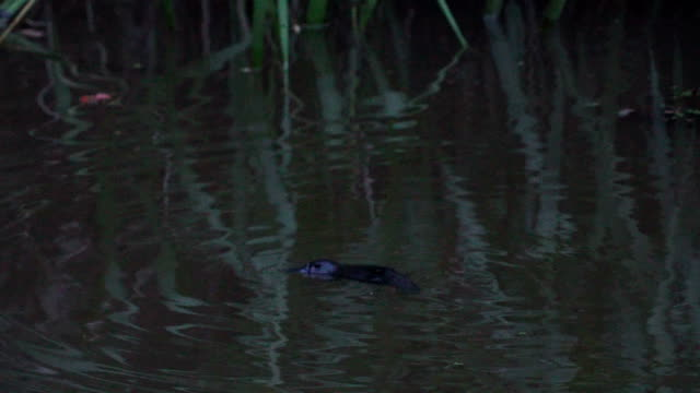 Baby platypus diving in the water at dusk in Yungaburra, Australia