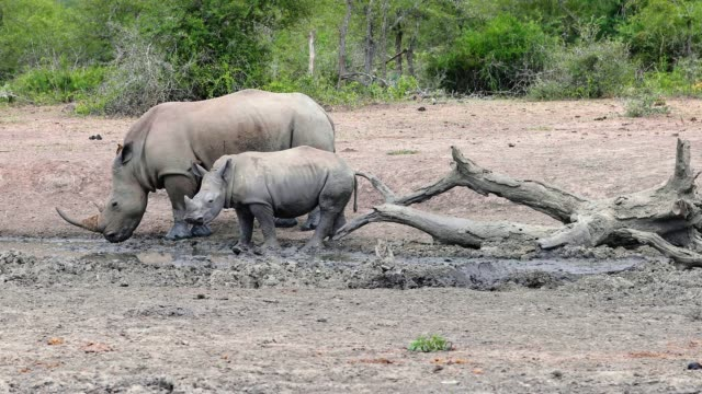 Baby rhinoceros and his mother drinking water in the savannah of South africa. Beautiful moment in the nature - animal and wildlife concept Close-up view of a baby rhinoceros and his mother drinking water in the savanna of South africa. Beautiful moment in the nature - animal and wildlife concept animal body stock videos & royalty-free footage