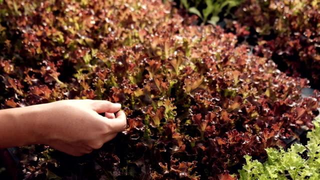 Baby salad plant video
