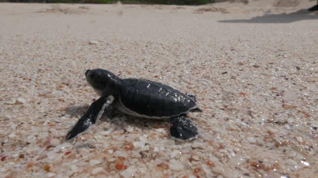 Baby sea turtle hatching and make the way to ocean Ogasawara Islands (Bonin Islands), Tokyo, Japan, 2016. (2016_0913_0920_09171008_1) turtle stock videos & royalty-free footage