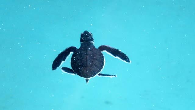 Baby sea turtle in hatcheries and breeding center. Baby sea turtle in hatcheries and breeding center. Newborn little turtles at wildlife turtle rescue center. tortoise stock videos & royalty-free footage