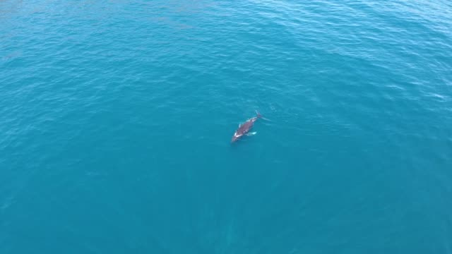 Baby southern right whale breaches the sea surface