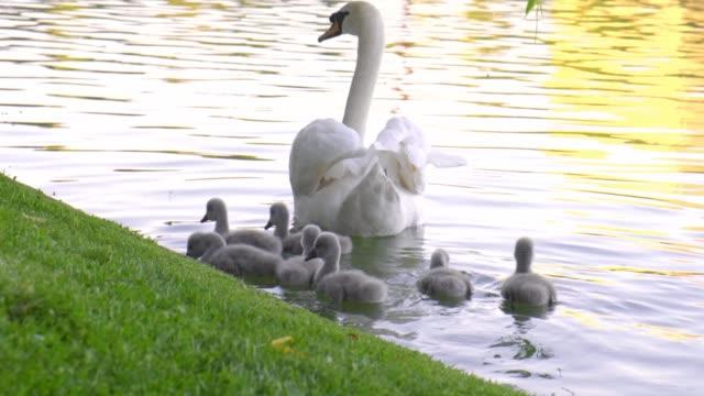 babyschwäne mit eltern (stumme schwäne, cygnus olor), die auf einem see im stadtpark schwimmen, mit warmem nachmittagslicht. 4k dci, 200 mbit/s, kleine farbeinstufung. - schwan stock-videos und b-roll-filmmaterial