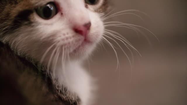 Bébé chat tigré, tabby vous dans une couverture woollen sleepy - Vidéo
