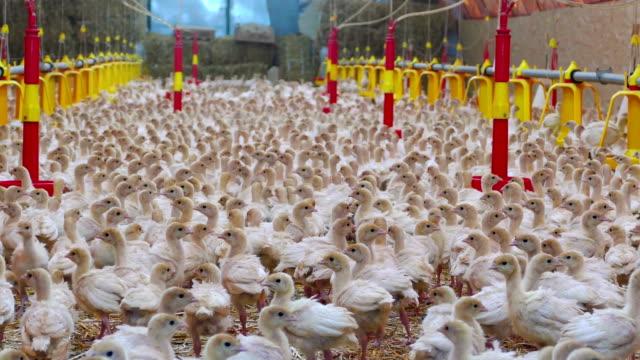 baby turkeys on farm - turkey filmów i materiałów b-roll
