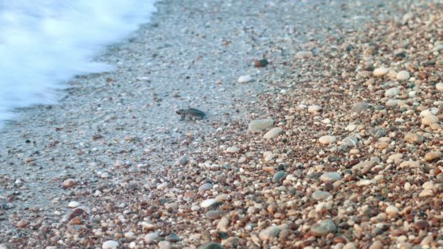 Baby turtle crawling on sand beach to ocean. Just born turtle go to sea
