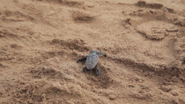 vidéos et rushes de bébé tortue éclosement et la marche peu coincé sur la plage à la beauté de la vie de l'océan nouvelle dans l'environnement de la nature bundaberg queensland australie aller pour elle! - reptile