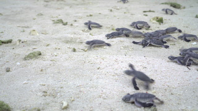Baby turtle hatchlings running toward the ocean Small turtle hatchlings getting released and running on the the beach toward their first swim. Lankayan Island, Borneo offspring stock videos & royalty-free footage