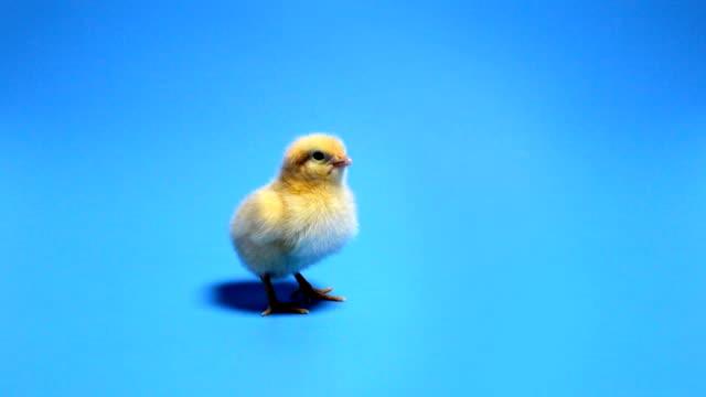 青い背景に黄色のひよこ鳴く赤ちゃん - イースター点の映像素材/bロール
