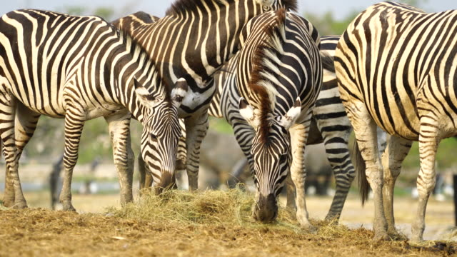 4K Baby Zebra and mother in the zoo