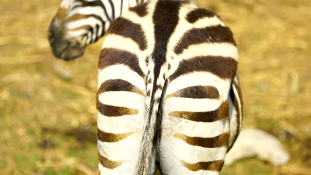 4K Baby Zebra and mother