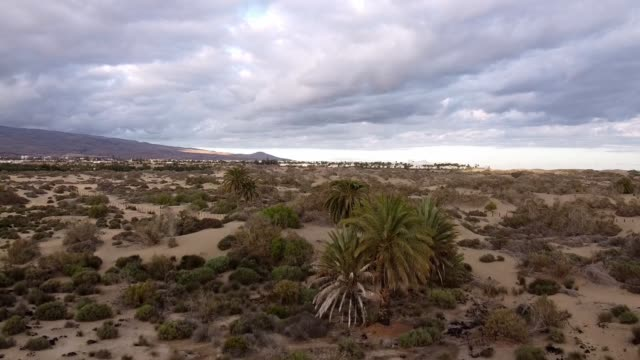Back fly Drone Shots of the big old palm in the dunes of desert of Maspalomas on Canaries Old big beautiful Palm filmed with Drone in Desert of Maspalomas on Gran Canaria, Canaries, Spain back to back stock videos & royalty-free footage