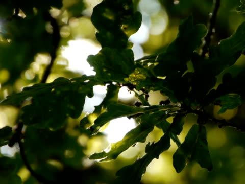 역광 참나무 잎 - 클립 길이 스톡 비디오 및 b-롤 화면