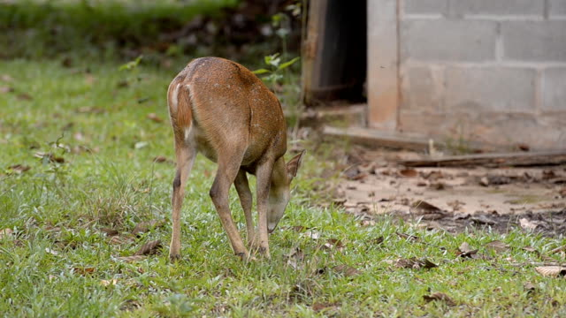 back view hind eat grass video