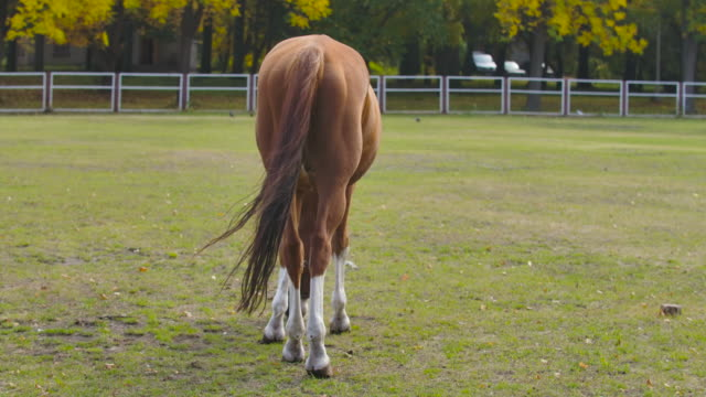 Back view of a brown horse eating grass in the corral. Graceful animal grazes on an autumn meadow. Cinema 4k footage ProRes HQ.