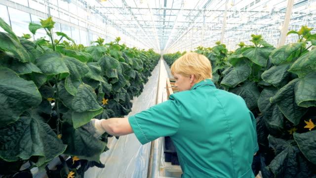 Salatalık hasat bir kadın yeşillik çalışanın arkadan görünüm video
