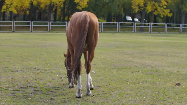 Back view of a graceful brown horse eating grass in the corral. Beautiful animal grazes on an autumn meadow. Cinema 4k footage ProRes HQ.