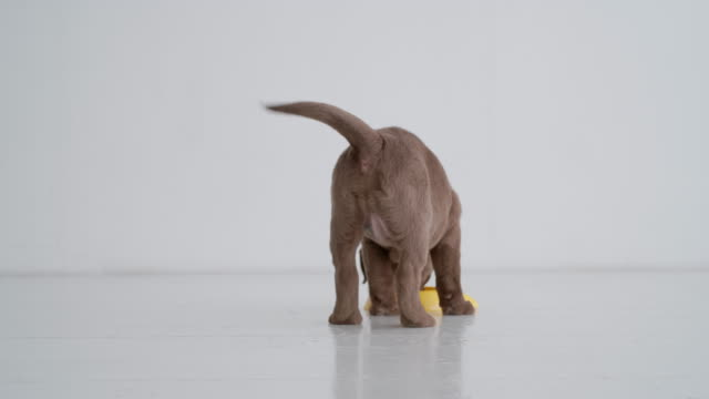 Back view of brown labrador puppy eating on a floor video