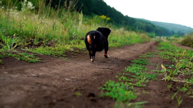back view of dachshund hunden går längs vägen i naturen slow motion video - bum bildbanksvideor och videomaterial från bakom kulisserna