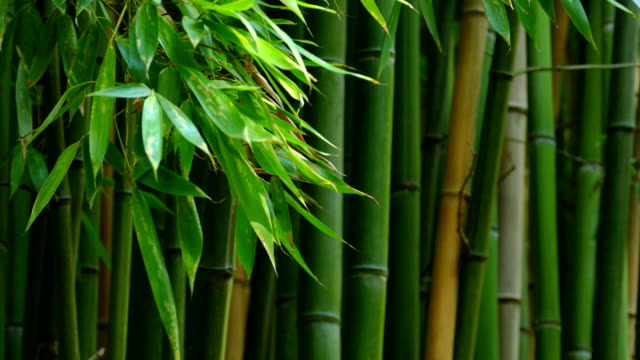 background - bamboo video