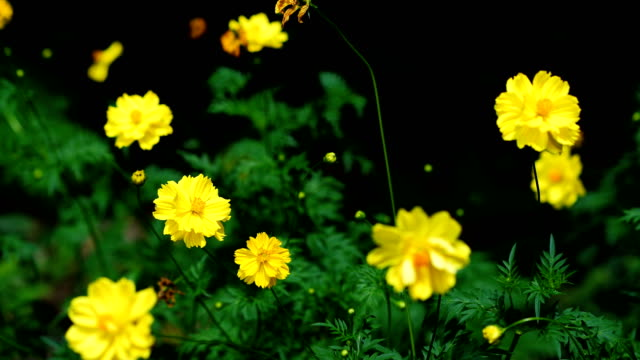 Background Nature Mexican Aster or Yellow Cosmos Flower. video Slow Motion