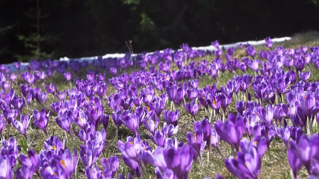 vidéos et rushes de fond de fleurs de crocus - crocus