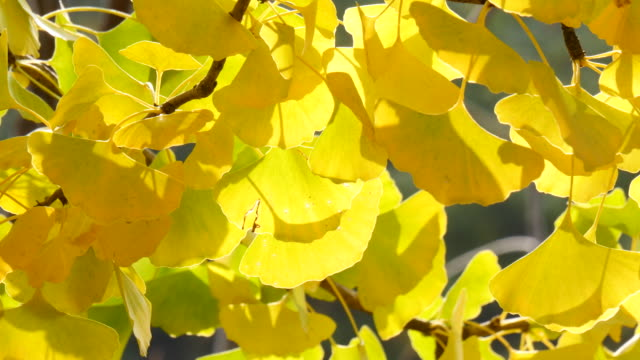 Background of Ginkgo leaves in a tree Background of Ginkgo leaves in a tree ginkgo tree stock videos & royalty-free footage