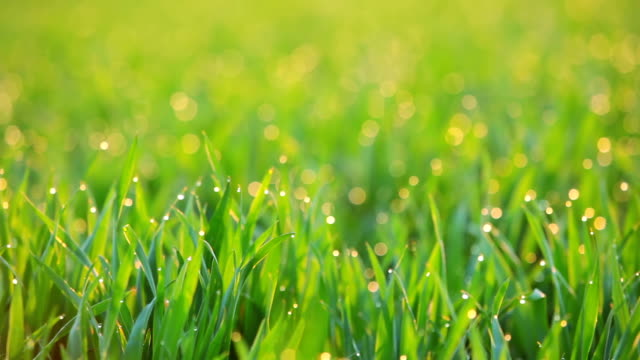 background with dew on the grass at dawn. seamless loop - grass stock videos & royalty-free footage