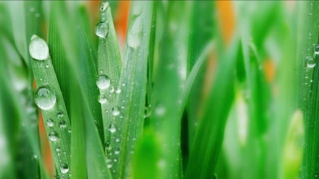 背景。水の滴を若い小麦。パン - 大麦点の映像素材/bロール