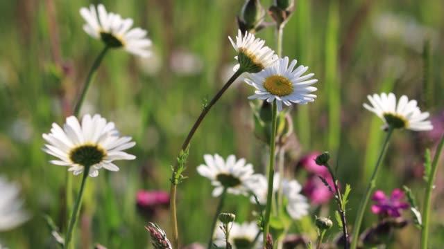 vídeos y material grabado en eventos de stock de flores silvestres de manzanilla retroiluminadas en un prado bajo el sol de la tarde. flores balanceándose con el viento. le dispararon en un trípode. - flor silvestre