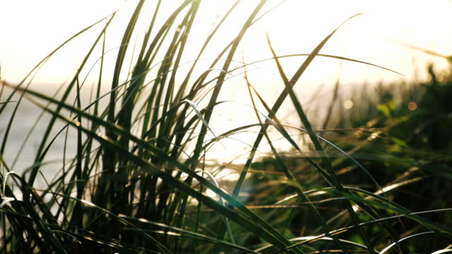 backlit clifftop grasses swaying in the wind, near sunset on a summer evening. Filmed in 5 X slow-motion. video
