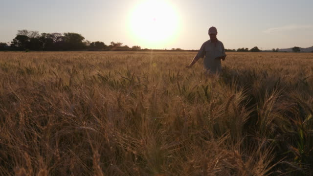 Backlit farmer walking through a wheatfield checking crops with a tablet video