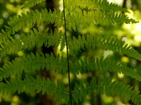 백라이트 양치식물 양치 잎 - 클립 길이 스톡 비디오 및 b-롤 화면