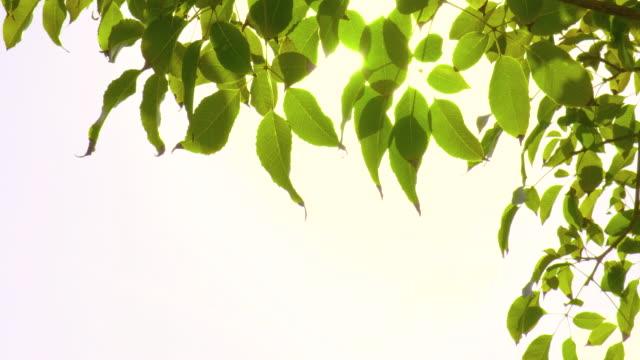 foglie verdi retroilluminata al vento con raggio di sole - ramo parte della pianta video stock e b–roll