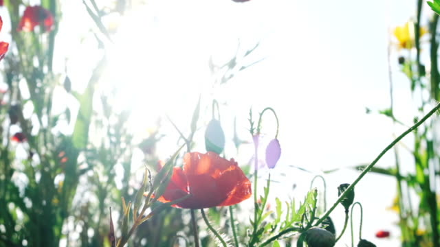 backlit in summer sunshine, swaying wildflower meadow with poppies, Pentire, Newquay, Cornwall, June. video