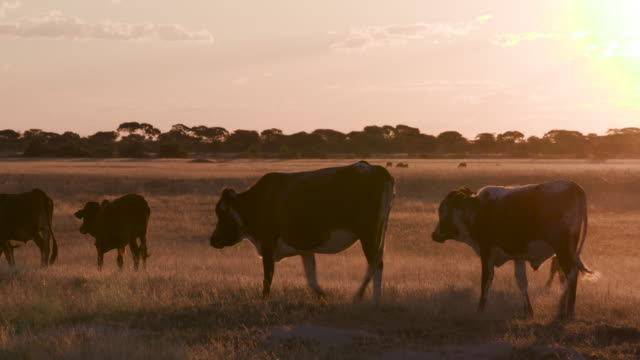 Backlit view of free range cattle in Botswana video