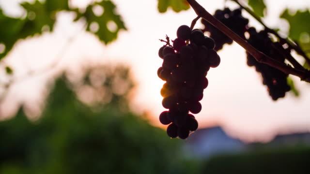 Backlit Wine Grape video