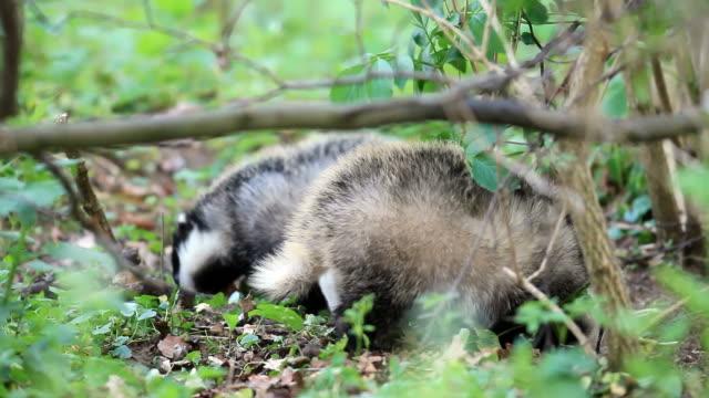 badger babys video