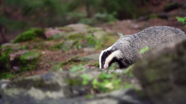 Badger eating a prey in forest