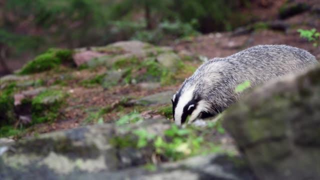 Badger eating a prey in forest