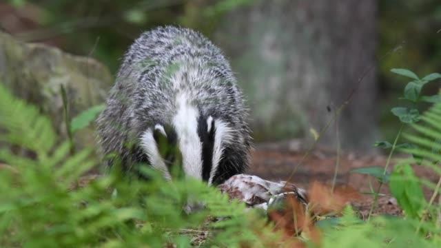 Badger eating a prey in slow motion