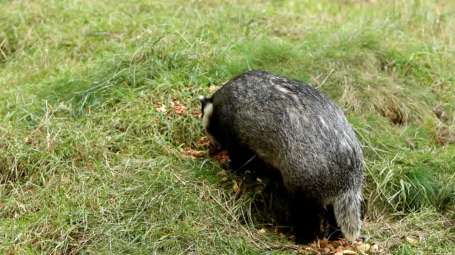 Badger Feeding video