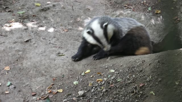 Badger near of the hole. European badger (Meles meles) video