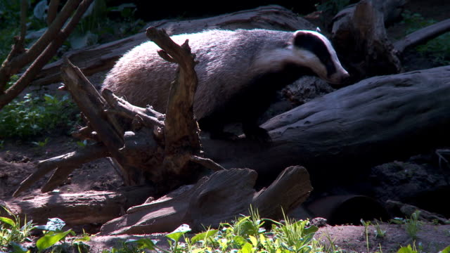badger video