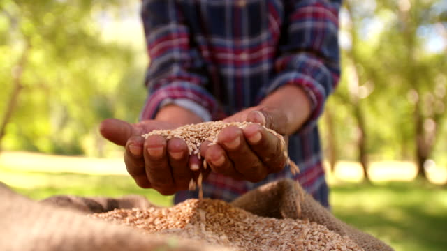 Bag of grain of wheat from the farm's food crop video