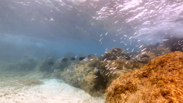 Bait ball and school of Ocean Surgeonfish, Blue Tang, Doctorfish in shallow water of coral reef  in Caribbean Sea / Curacao video