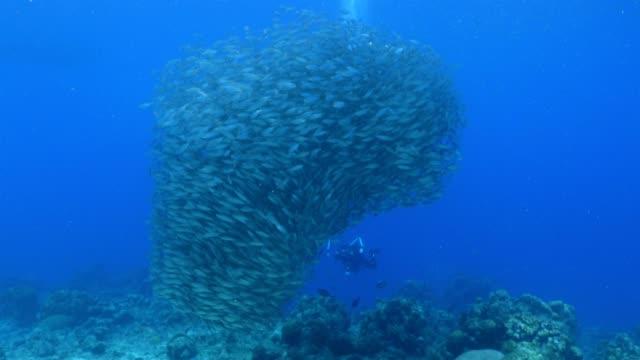 Bait Ball am Korallenriff in der Karibik auf Curacao – Video